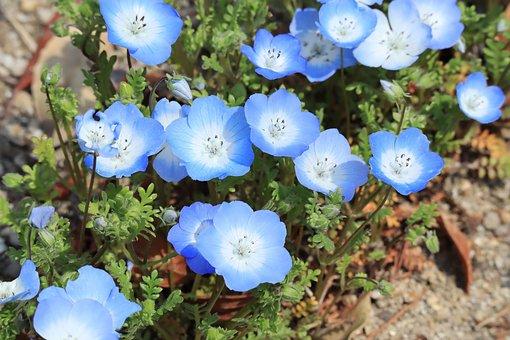 Natural, Plant, Flowers, Nemophila, Blue, Spring