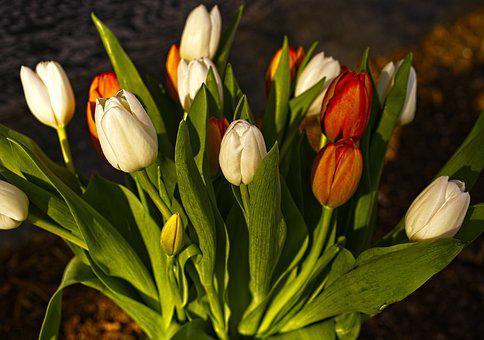 Tulip, Spring, Flowers, Perennial, Floral, White, Red