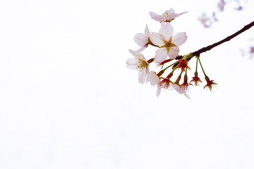 Cherry Blossom, Yuantouzhu, Wuxi, Spring, Tourism