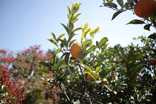 Tangerine, Citrus, Delicious, The Natural Direction