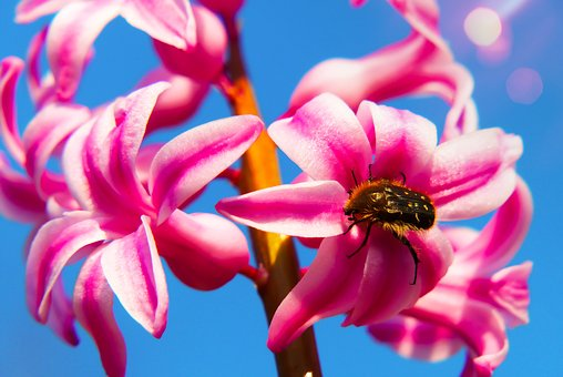 Hyacinth, Plant, Flower, Garden, The Petals, Insect
