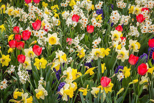 Spring, Daffodils, Tulips, Daffodil, Spring Awakening