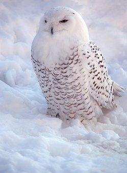 White, Snowy Owl, Bird Of Prey, Nature, Snow, Beauty