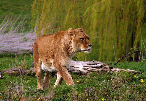 Lion, Female, Predator, Africa, Lioness, Wildlife