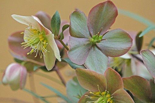 Christmas Rose, Winterblueher, Anemone Blanda, Blossom