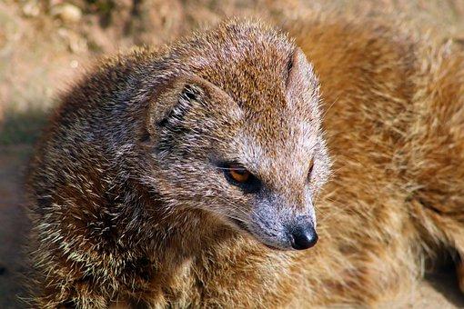 Mongoose, Yellow Mongoose, Animal, Mammal, Africa
