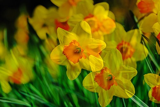 Narcissus, Flower, Yellow, Nature, Spring, Bloom