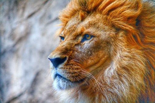 Hdr, Photos, Photograf, Animal, Wildlife, Lion, Löwe