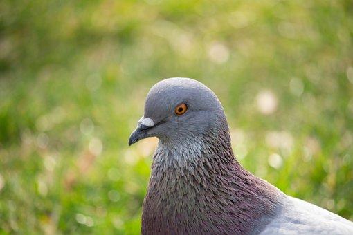 Dove, Pigeon, Bird, Animal, Animal World, Nature, Head