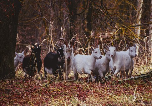 Goats, Goat, Forest, Nature, Animals, Herd, Trees