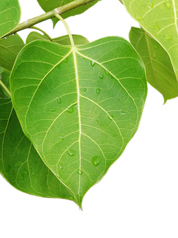 Autumn Leaves, Bai Thi, Plant, Nature, Summer