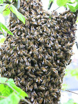 Bees, Swarm, Summer, Insect, Honey Bees, Beekeeping