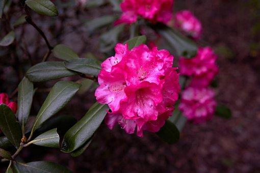 Rhododendron, Oregon, Pink, Flower, Bloom, Blossom