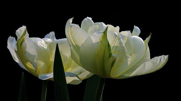 Tulip, Exotic Emperor, Fosterina, Flower, Blossom