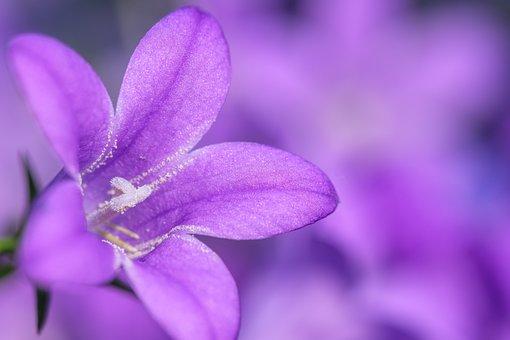 Phlox, Carpet Phlox, Cushion Phlox, Flower, Blossom