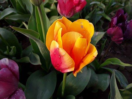 Tulip, Nature, Green, Plant, Flora, Close Up, Spring