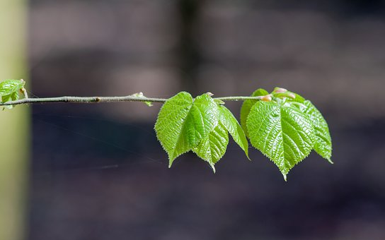 Foliage, Green, Leaf, Branch, The Stem, Cobweb, Nature