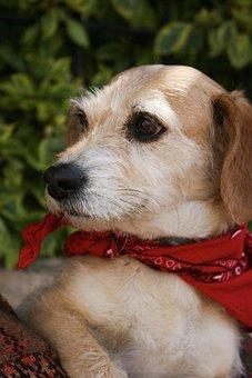Dog, Pup, Puppy, Animal, Cute, Bandana, Domestic