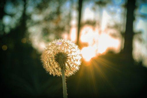 Dandelion, Flower, Wind, Delicate, Spring, Plant, Seeds