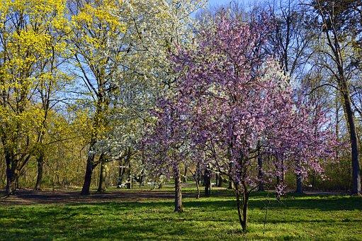 Park, Deciduous Trees, Trees, Flowers, Tree Blossoms