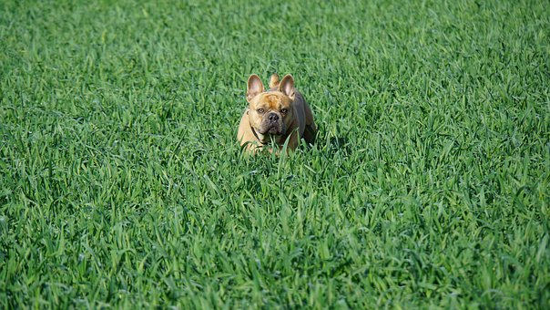 French Bulldog, Field, Green, Dog, Animal, Grass