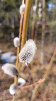 Pajunk, Easter, Spring, Close-up, Nature