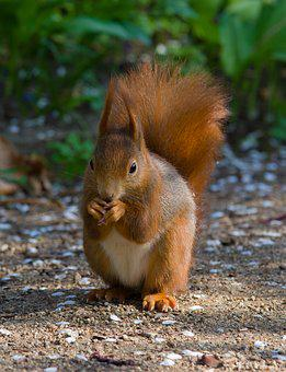 Squirrel, Rodent, Sweet, Eat, Animal, Nature, Cute