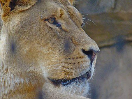 Lion, Feline, Zoo, Animal, Face, Background, Tier