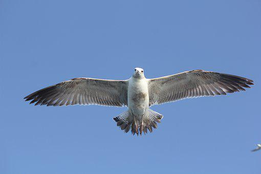 Flying Bird, Bird, Nature, Animal, Wings, Wing, Feather
