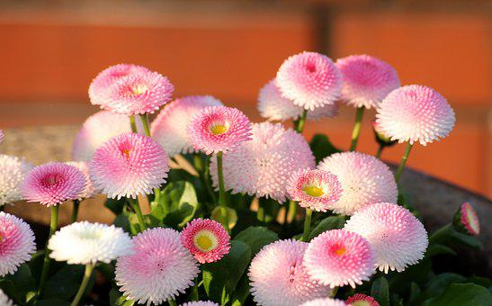 Daisies, Pink, Flowers, Spring Flowers, Spring, Figure