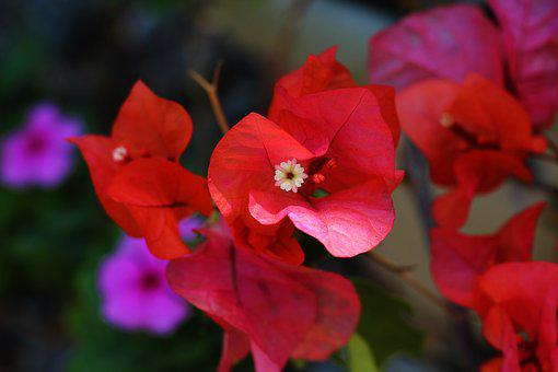 Trinitarian, Flower, Petal, Nature, Veranera, Plant
