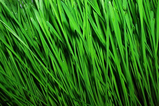 Wheat, Wheat Greens, Food, For Raw Foodists