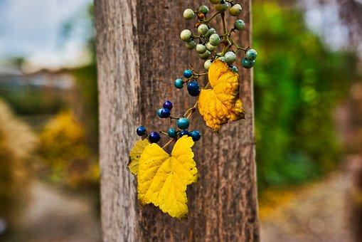 Berries, Plant, Blue, Nature, Garden, Autumn, Gardening