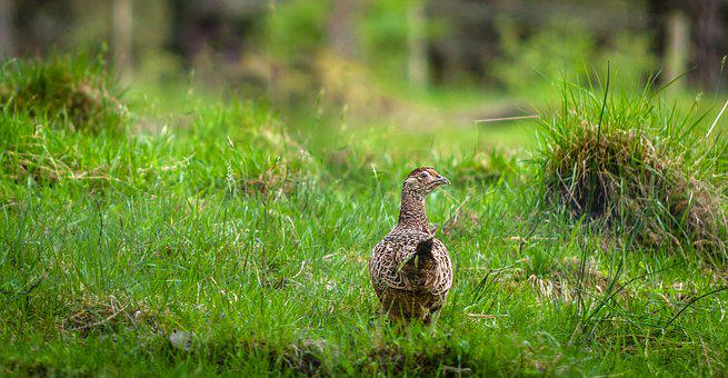 Pheasant, Hen, Meadow, Grass, Green, Nature, Species