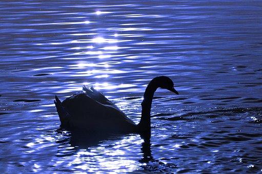 Swan, Water, Silhouette, Animal World, Lake, Bird