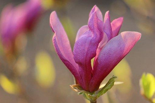 Magnolia, Blossom, Bloom, Bush, Magnolia Blossom
