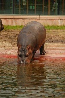 Hippo, Water, Hippopotamus, Africa, Animal, Mammal