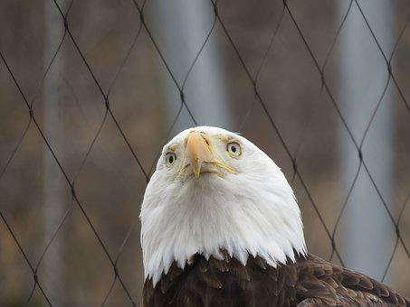 Eagle, Bald, Bald Eagle, Bird, Nature, Animal, Usa