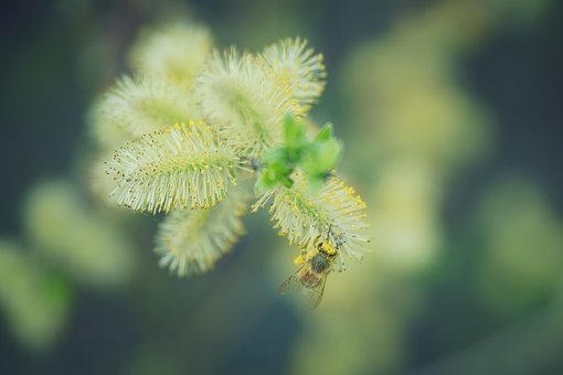 Spring, Pollen, Bee, Collect, Blossom, Bloom, Nature