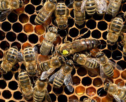 Nature, Bees, Queen Bee, Insect, Honey Bee, Close Up