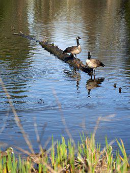 Geese, Canadian, Nature, Water, Birds, Pond, Feather