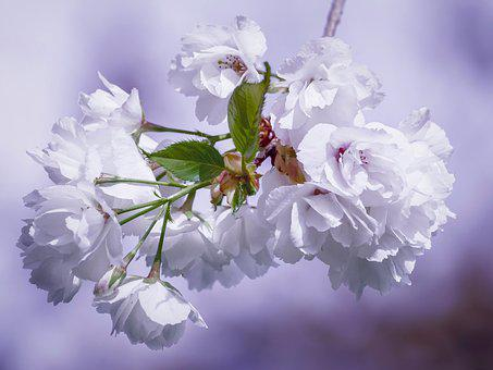 Cherry Blossoms, Flowers, Ornamental Cherry