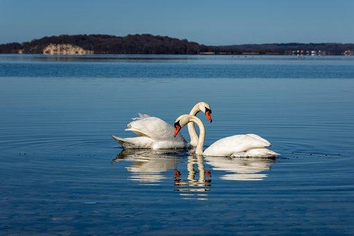 Swan, Pair, Love, Rügen, Baltic Sea, Two, Lake, Wave