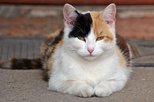 Cat, Harlequin, Kitten, Pet, Feline, Eyes, Fur, Hairy