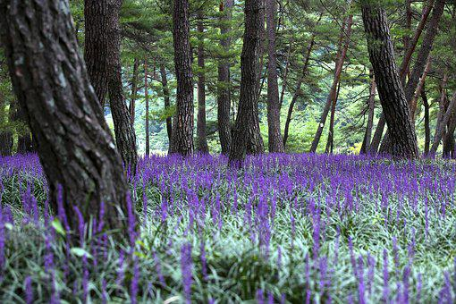 Landscape, Liriope, Pine, Nature