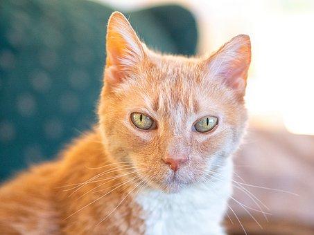Cat, Orange, Cute, Feline, Fur, Portrait, Eyes, Kitty