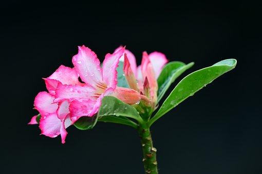 Adenium, Pink Flower, Petals, Buds, Rain Drops, Wet