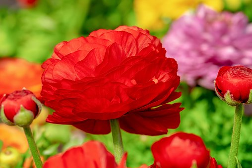 Ranunculus, Flower, Blossom, Bloom, Red, Spring