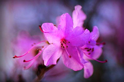 Azalea, Flower, Shrub, Petal, Pistil, Bloom, Spring