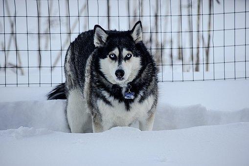 Husky, Winter, Dog, Animal, Snow, Nature, Pet, Snowy